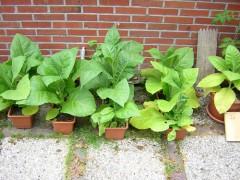 Tabakanbau kostet Zeit, Nerven und Geld, dafür ist die Beschäftigung damit recht mußevoll und die Ernte so Bio wie nur was.