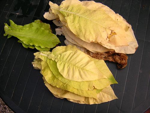 Von unten nach oben verfärben sich die Blätter dann langsam von grün nach gelb. Seit August gehst du alle paar Wochen durch und zupfst die reifen Blätter von den Stengeln.