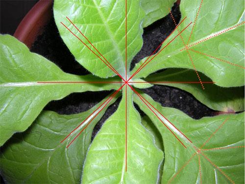Die Blattstellung der Tabakpflanze gehorcht der Fibonacci-Ordnung.