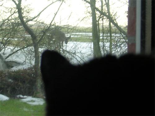 Trauni beobachtet ein Reh und entscheidet sich nach langem Abwägen ihrer Chancen gegen einen Angriff.